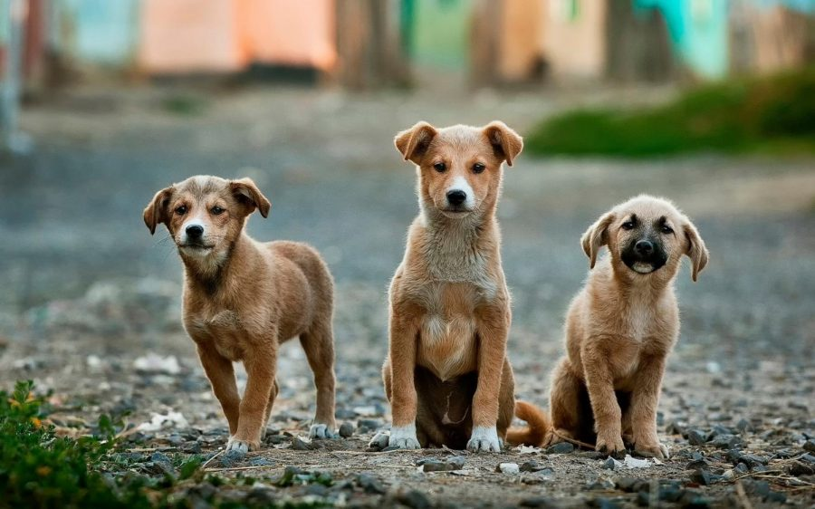 While many dogs are being rescued during Covid-19, how will they be cared for after quarantine ends? Photo Cred: Anoir Chafik from Unsplash