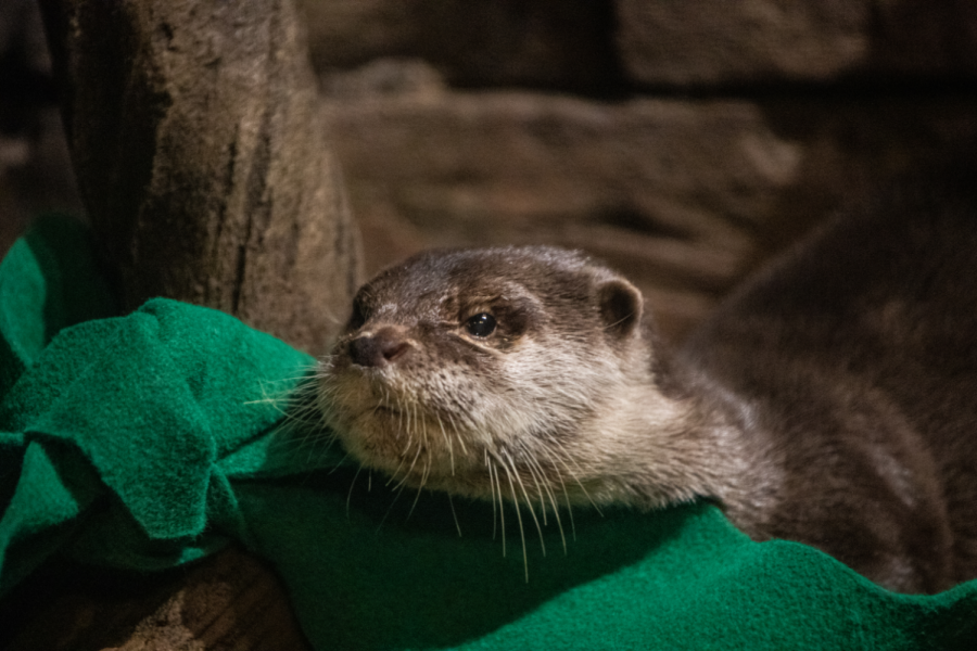 Otters at the Georgia Aquarium have Tested Positive for COVID-19